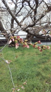 cherry trees are in bloom.
