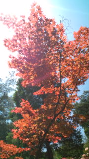 春、紅葉の。